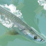 Photo of Watch the Tarpon