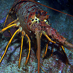 2020-2021 Spiny Lobster Season